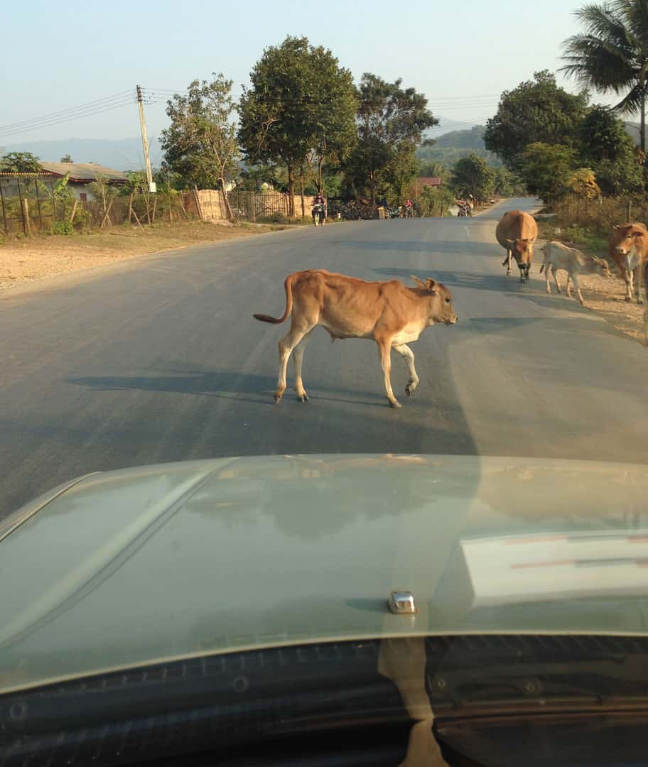 Cows on the road!